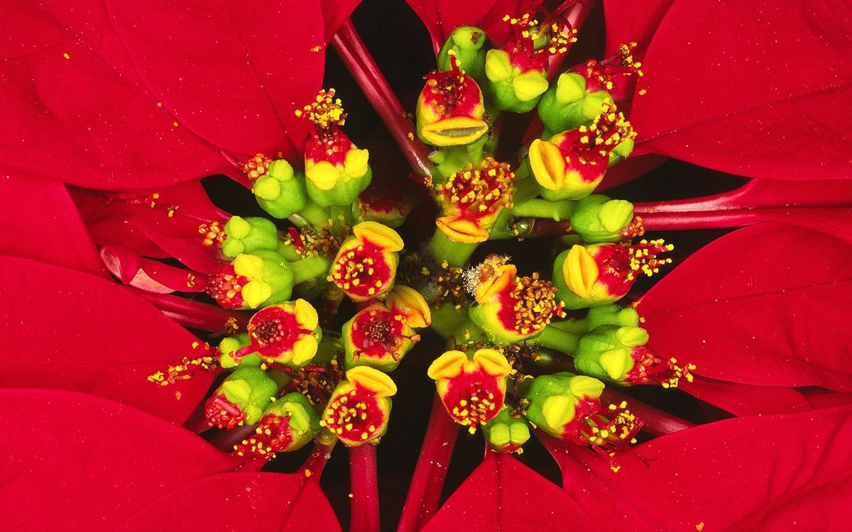 Foto007_Euphorbia-pulcherrima