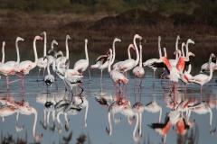 009_Flamingos